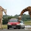 10 Фактів про жирафів