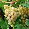 Калорійність винограду, корисні і шкідливі властивості