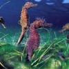 Морські коники: цікаві факти