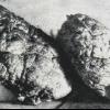 Скам`янілий мозок в одинцово - нерозгадана таємниця 20 століття