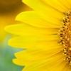 Чому соняшники повертаються за сонцем