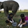 Найдорожча кава в світі роблять з екскрементів слона (4 фото)